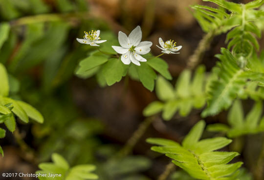 Rue-anemone - Thalictrum thalictroides